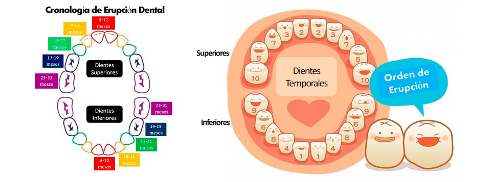 Odontolog a preventiva para beb s the t 39 ai spa blog for Numero de dientes